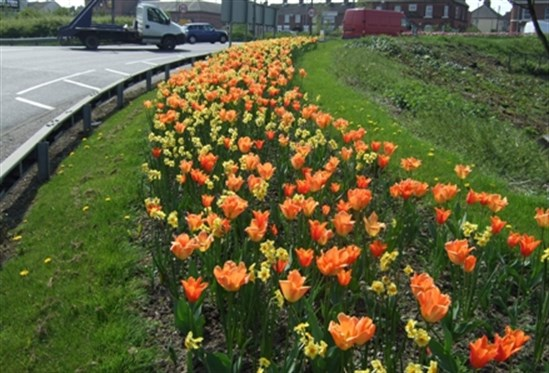 Whittington Moor roundabout with blooming tulips